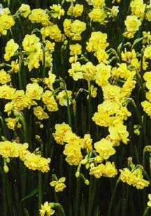 Daffodil, Double Cheerfulness