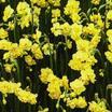 Daffodil, Double Cheerfulness