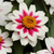 Zinnias: Zinnia marylandica 'Zahara Starlight Rose'