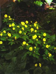 Bulbs_anemone_ranunculoides_superba-1.full