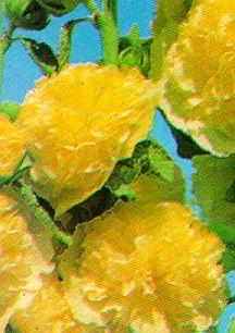 Perennials_alcea_rosea_chater_s_yellow-1.full