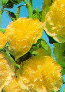Hollyhock, 'Chater's Yellow'