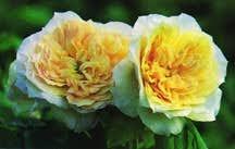 Rose, Antique Noisette 'Celine Forestier' (1858)