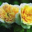 Rose, Antique Noisette 'Celine Forestier' (1858)