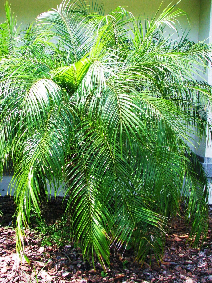 Palms_and_cycads_phoenix_roebelenii-2.full