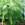 Palms and Cycads: Phoenix roebelenii