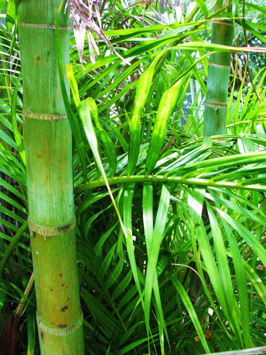 Palms_and_cycads_dypsis_lutescens-1.full