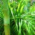 Palms_and_cycads_dypsis_lutescens-1.small