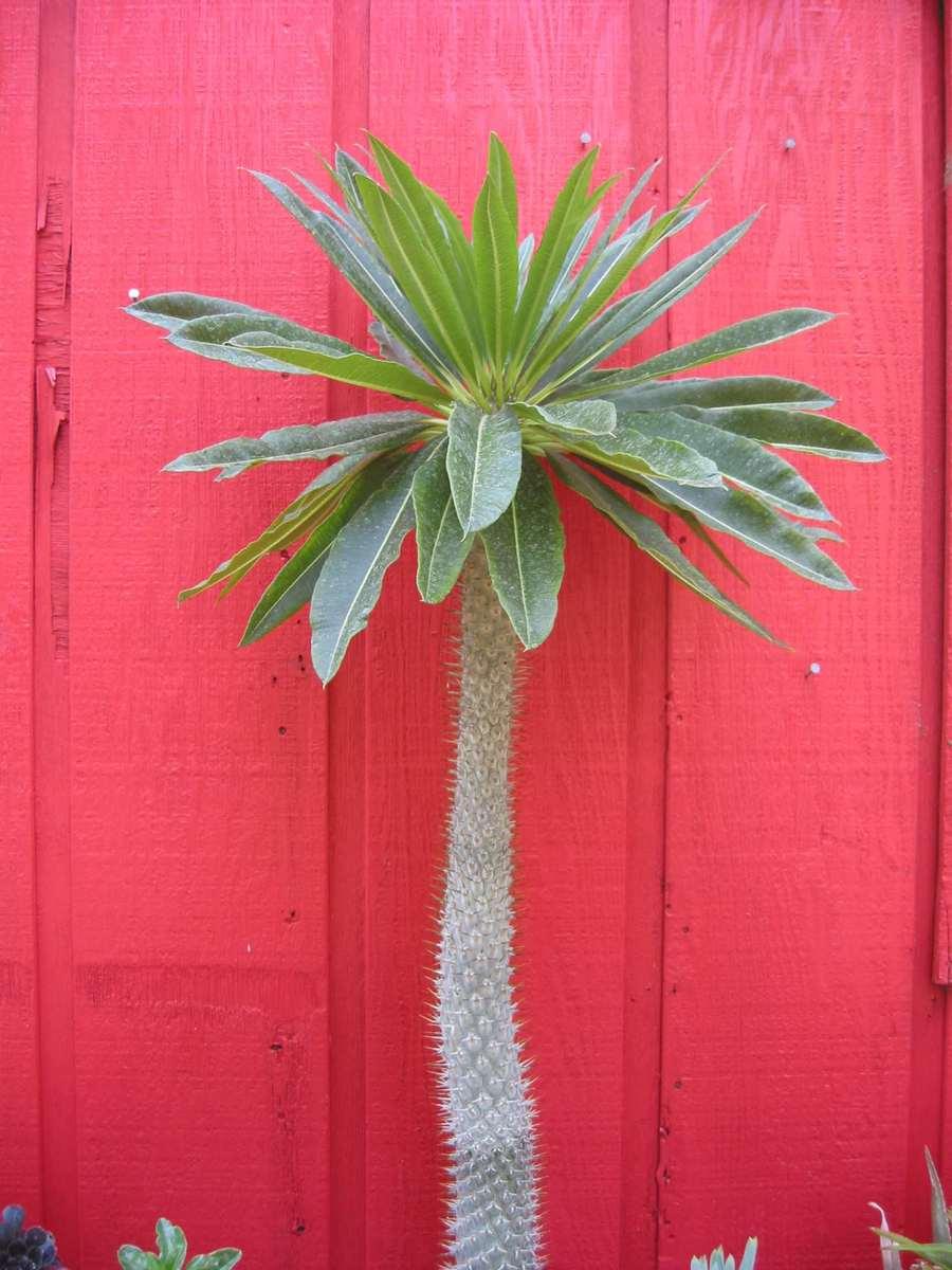 Cacti_and_succulents_pachypodium_lamerei-1.full