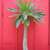 Cacti_and_succulents_pachypodium_lamerei-1.small