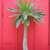 Cacti and Succulents: Pachypodium lamerei