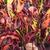 Tropicals_codiaeum_variegatum_mamey-1.small