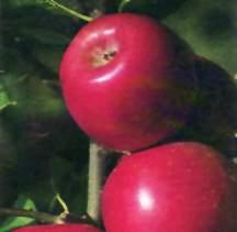 Apple Tree, Semi-dwarf 'Enterprise'