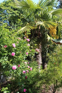 Shrub rose 'Caoe Diamond' meets windmill palms in our Seattle tropical garden
