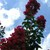 Crape_myrtle_lagerstroemia_indica_arapaho-2.small