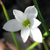 Lilies_zephyranthes_var._candida_white-4.thumb