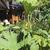 Perennials_gunnera_manicata.small