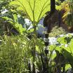 Perennials_gunnera_manicata-1.thumb