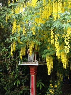 Golden Chain tree - Laburnum anagyroides