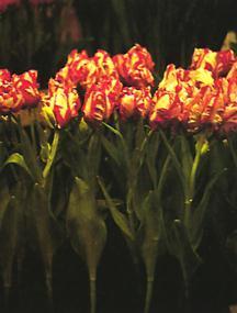 Tulip, Parrot 'Estella Rijnveld'