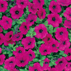 Petunia, Ground Cover 'Original Wave® Purple' Hybrid