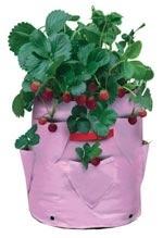 Strwberryplanter.full