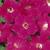 Petunias: Petunia x 'Original Wave® Rose'