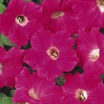 Petunia, Ground Cover 'Original Wave® Rose' Hybrid