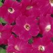 Petunia, Ground Cover 'Original Wave® Rose' Hybrid