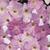 Petunias: Petunia x 'Original Wave® Misty Lilac'