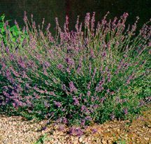 All_plants_lavandula_x_intermedia_grosso-1.detail