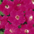 Petunias_petunia_x_original_wave_rose.small