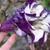 Annuals: Datura metel