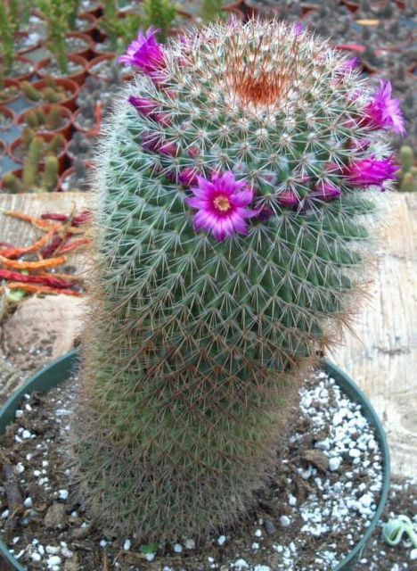 Cacti_and_succulents_mammillaria_spinosissima.full