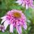 Coneflowers: echinacea purpurea 'Razzmatazz'