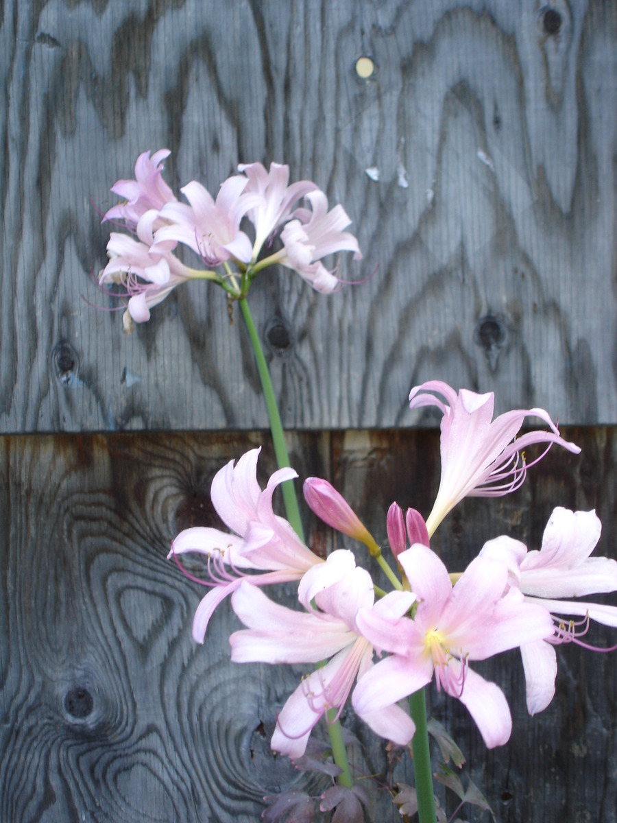 Bulbs_zephyranthes_grandiflora.full