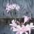 Lilies: Lycoris squamigera