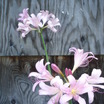 Bulbs_zephyranthes_grandiflora.thumb