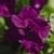 Petunias: Petunia x hybrida 'Double Wave® Blue Velvet'