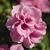 Petunias: Petunia x hybrida 'Double Wave® Pink'
