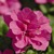 Petunias: Petunia x hybrida 'Double Wave® Rose'