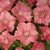 Petunias: Petunia x hybrida 'Easy Wave® Coral Reef'