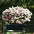Petunias: Petunia x hybrida 'Easy Wave® Mystic Pink'