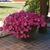 Petunias: Petunia x hybrida 'Easy Wave® Pink'