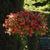 Petunias: Petunia x hybrida 'Easy Wave® Red'