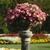 Petunias: Petunia x hybrida 'Easy Wave® Rosy Dawn'