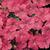 Petunias: Petunia x hybrida 'Easy Wave® Salmon'