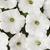Petunias: Petunia x hybrida 'Easy Wave® White'