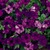 Petunias: Petunia x hybrida 'Original Wave® Blue'