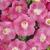 Petunias: Petunia x hybrida 'Original Wave® Pink'